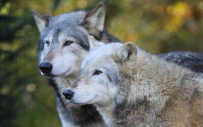 WELCHER WOLF GEWINNT?
